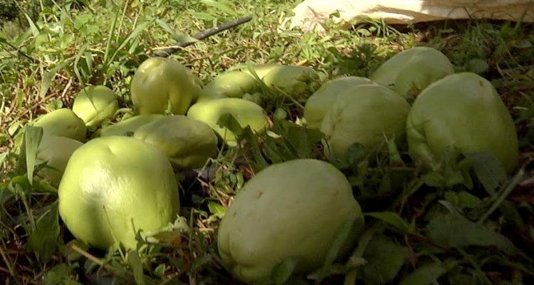 El chayote, chayota, tayota o papa del aire es el fruto del sechium edule, nombre científico de la chayotera, planta originaria de Centroamérica, que tiene tantos nombres como sitios en los que se cultiva y de la que se utilizan tanto sus frutos como sus ho