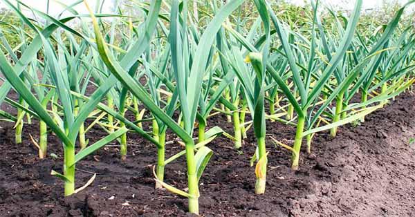 Hierbas y plantas medicinales somos de quisqueya for Hierbas y plantas medicinales