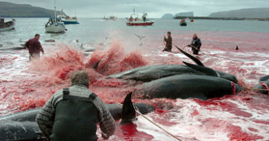 FUERTES IMÁGENES: La matanza tradicional de ballenas en Dinamarca tiñe de nuevo las aguas de sangre