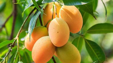 PRUEBALO: Baja de peso con mango ¡quemarás grasa en modo turbo!