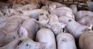 Puerto Rico busca blindarse tras brote de peste porcina en República Dominicana   #SDQPeriodicodominicano